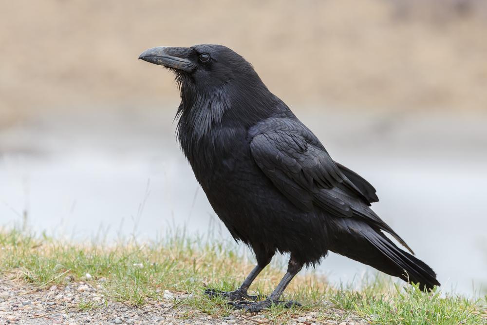 vogels herkennen verschil kauw kraai raaf en roek